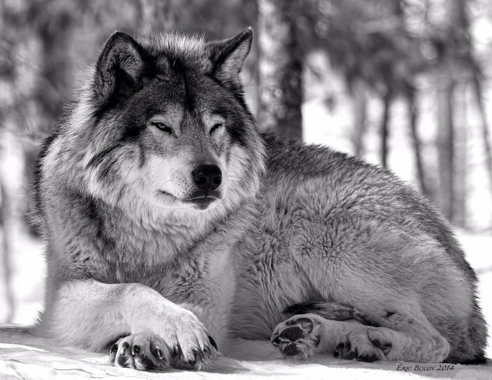 Wolves, Wolf Pictures, Wolf Facts - National Geographic