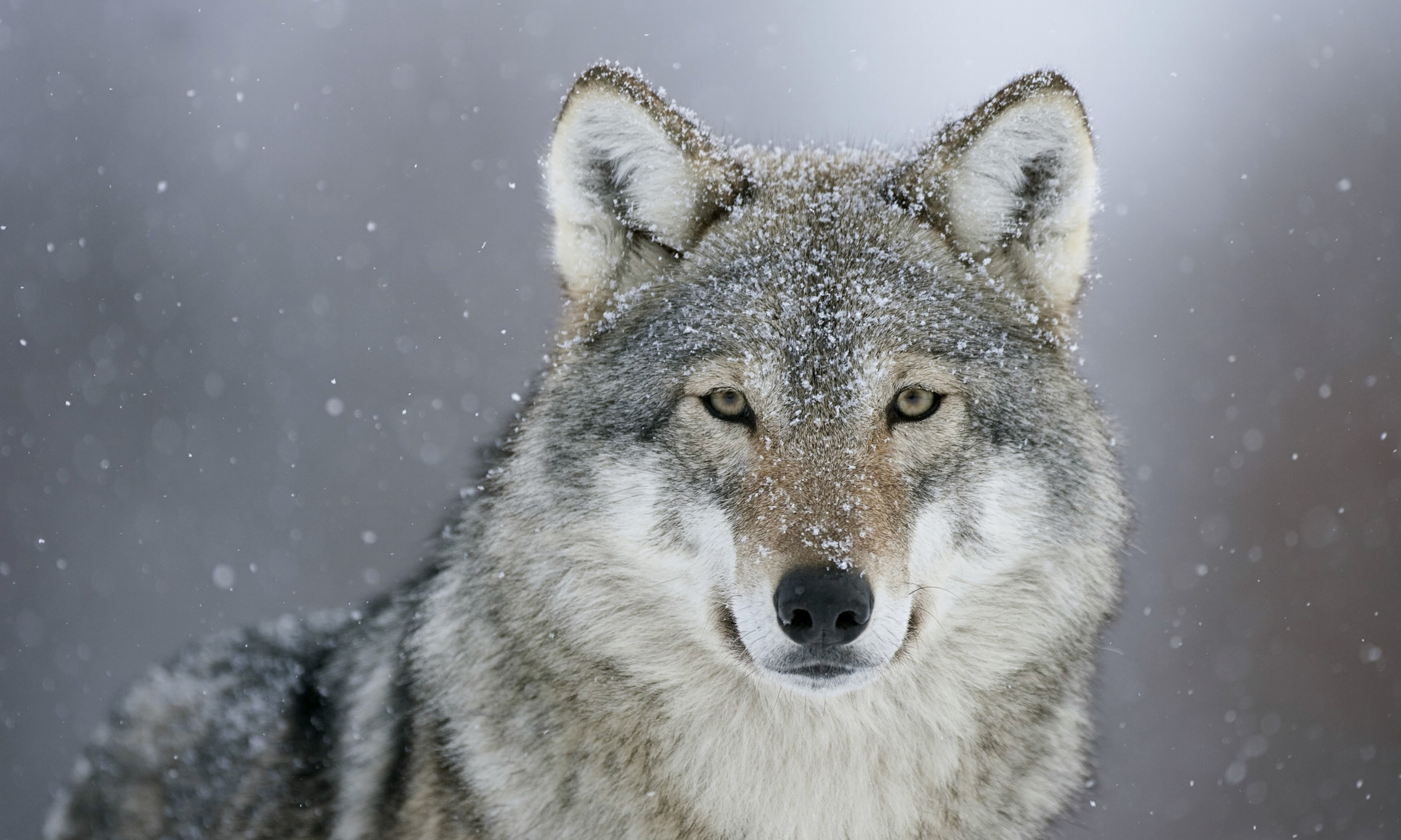 How Much Wolf Are You? | Playbuzz