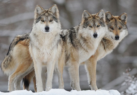 Chicago Zoological Society - Mexican Gray Wolf