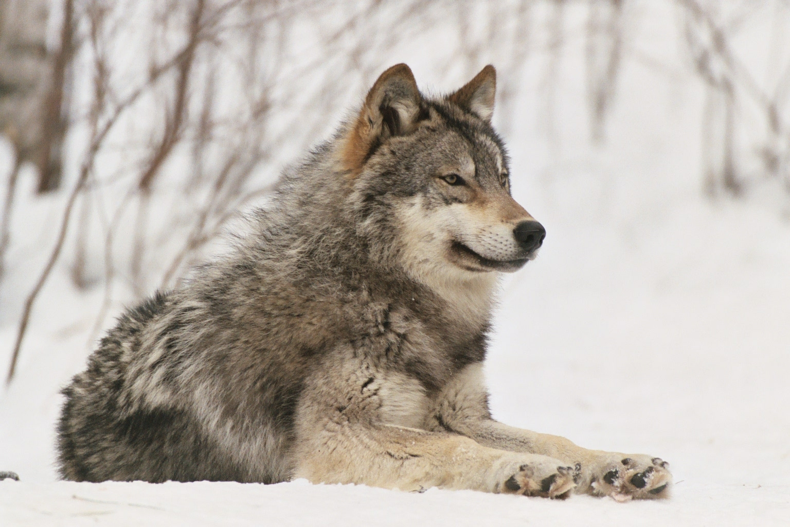 Fun Wolf Facts | International Wolf Center