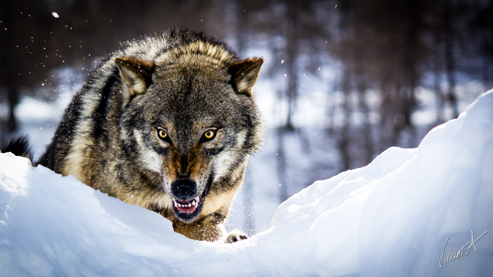 What Kind Of Wolf Are You? | Playbuzz