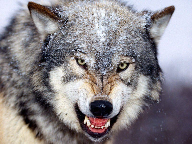 Wolf Wallpapers AIC - SHunVMall Gallery