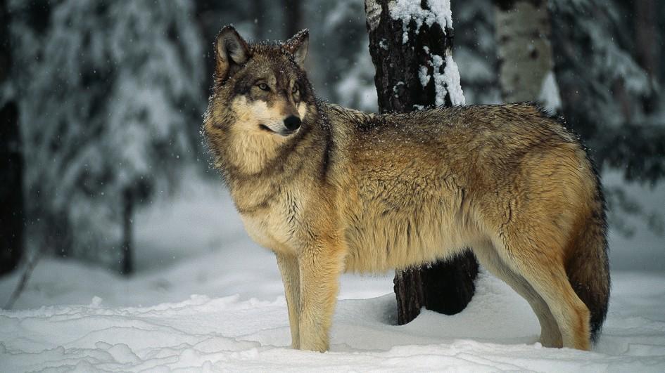 wolf pics